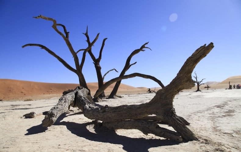 Dead tree in the Namib desert