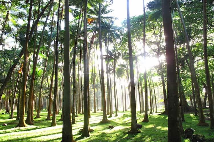 Sun shining through a plam tree forest