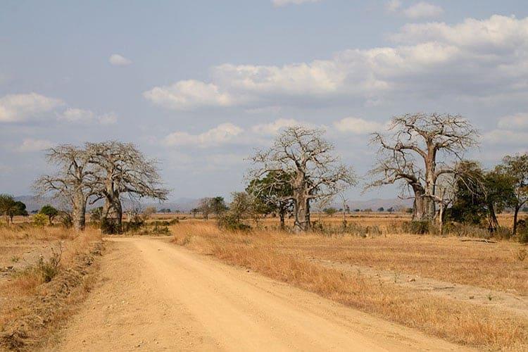 Baobab trees, Tanzania